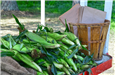 Vegetable stand with fresh corn